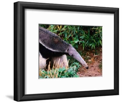 Captive Giant Anteater (Myrmecophaga Tridactyla), Brazil