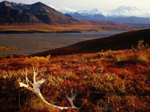 Caribou Antlers on the Tundra in Denali National Park, Denali National Park & Reserve, USA by Mark Newman