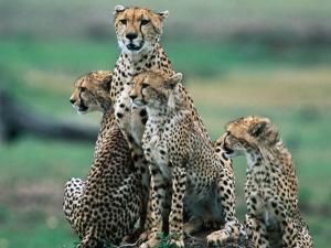 Cheetahs (Acinonyx Jubatus), Masai Mara National Reserve, Rift Valley, Kenya by Mark Newman