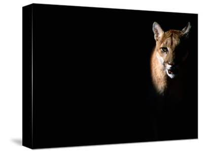 Cougar (Felis Concolor), Aka Puma or Mountain Lion, Arizona-Sonora Desert Museum, Tucson, U.S.A.