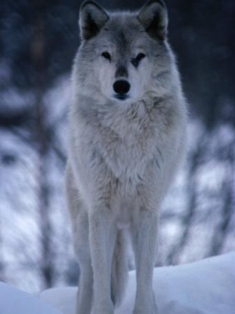 Grey or Timber Wolf (Canis Lupus) in the Alaskan Snow, Alaska, USA