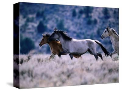 Kiger Mustang Wild Horses, U.S.A.