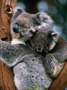 Koala with Baby (Phascolarctos Cinereus), New South Wales, Australia by Mark Newman