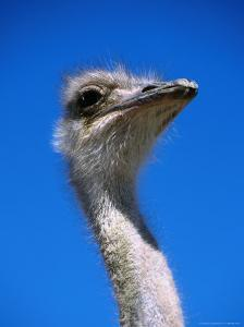 Ostrich (Struthio Camelus), USA by Mark Newman