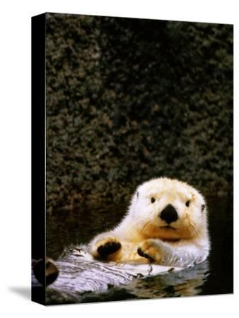 Sea Otter Floating on Its Back, Point Defiance Zoo, Tacoma, Washington