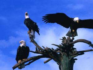 Three Bald Eagles (Haliaeetus Leucocephalus) in Homer Alaska, Homer, USA by Mark Newman