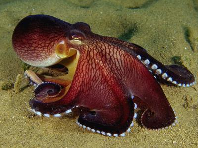 Warning Display of the Veined Octopus. (Octopus Marginatus) Indonesia by Mark Norman