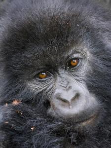 Mountain Gorilla (Gorilla Beringei Beringei) by Mark Smith