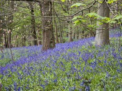Bluebells in Middleton Woods Near Ilkley, West Yorkshire, Yorkshire, England, UK, Europe