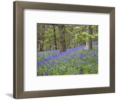 Bluebells in Middleton Woods Near Ilkley, West Yorkshire, Yorkshire, England, UK, Europe