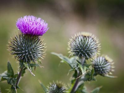 Scottish Thistle Near Dunnottar Castle, Stonehaven, Aberdeenshire, Scotland, United Kingdom, Europe