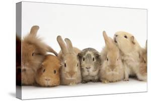 Assorted Sandy Rabbits and Guinea Pigs by Mark Taylor
