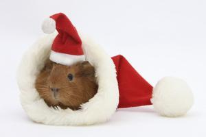 Baby Guinea Pig in and Wearing a Father Christmas Hat by Mark Taylor
