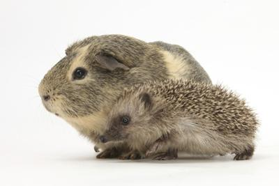 Baby Hedgehog (Erinaceus Europaeus) and Guinea Pig, Walking in Profile