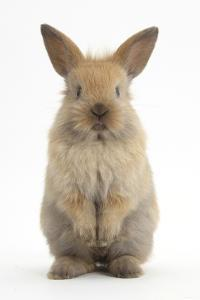 Baby Lionhead Cross Lop Rabbit, Standing by Mark Taylor