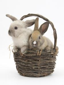 Baby Rabbits in a Wicker Basket by Mark Taylor