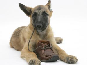 Belgian Shepherd Dog Puppy, Antar, 10 Weeks, Chewing a Child's Shoe by Mark Taylor