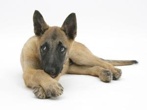 Belgian Shepherd Dog Puppy, Antar, 10 Weeks, Lying with Chin on Crossed Paws by Mark Taylor