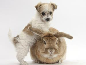 Bichon Frise Cross Yorkshire Terrier Puppy, 6 Weeks, and Sandy Rabbit by Mark Taylor
