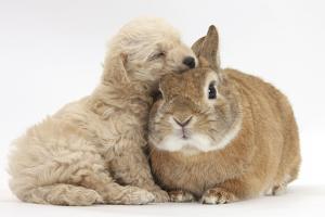 Bichon Frise Cross Yorkshire Terrier Puppy, 6 Weeks, Asleep on Netherland Dwarf Cross Rabbit by Mark Taylor