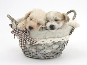 Bichon Frise Cross Yorkshire Terrier Pups, 6 Weeks, Asleep in a Basket by Mark Taylor