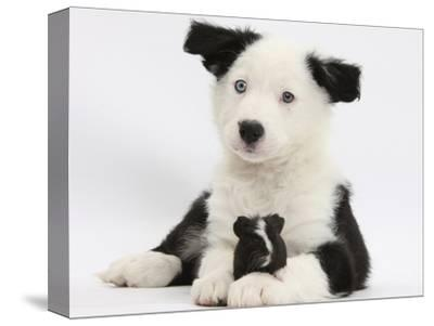 Black and White Border Collie Puppy and Guinea Pig
