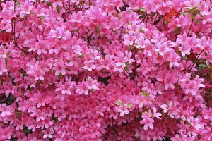 Bloom of Azalea Flowers. Winkworth Arboretum, Surrey, UK, May by Mark Taylor