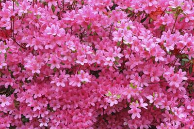 Bloom of Azalea Flowers. Winkworth Arboretum, Surrey, UK, May
