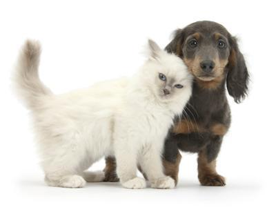 Blue-Point Kitten and Blue-And-Tan Dachshund Puppy, Baloo, 15 Weeks by Mark Taylor