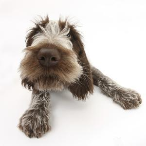 Brown Roan Italian Spinone Puppy, Riley, 13 Weeks, Lying with Head Up by Mark Taylor