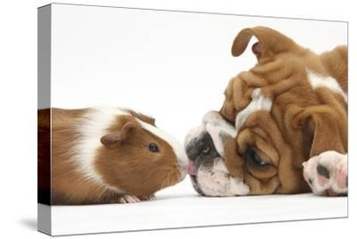Bulldog Puppy, 11 Weeks, Face-To-Face with Guinea Pig
