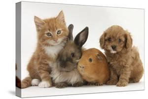 Cavapoo (Cavalier King Charles Spaniel X Poodle) Puppy with Rabbit, Guinea Pig and Ginger Kitten by Mark Taylor