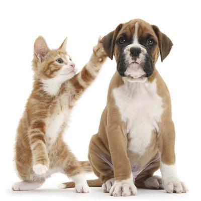 Cheeky Ginger Kitten, Ollie, 10 Weeks, Reaching Up and Batting the Ear of Boxer Puppy