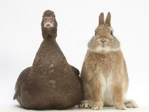 Chocolate Muscovy Duck and Netherland Dwarf-Cross Rabbit by Mark Taylor