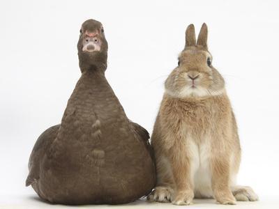 Chocolate Muscovy Duck and Netherland Dwarf-Cross Rabbit