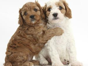 Cute Red And Red-And-White Cavapoo Puppies, 5 Weeks, Hugging, Against White Background by Mark Taylor