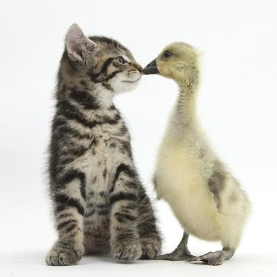 Cute Tabby Kitten, Fosset, 9 Weeks, Nose to Beak with Yellow Gosling