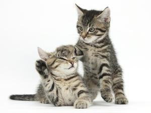 Cute Tabby Kittens, Stanley and Fosset, 9 Weeks by Mark Taylor