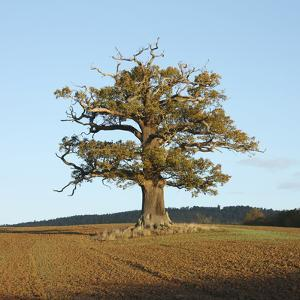 English Oak (Quercus Robur) Standing Solitary in a Field in Winter. Surrey, UK, November by Mark Taylor