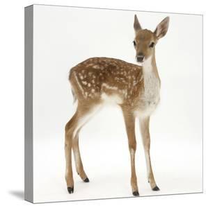 Fallow Deer (Dama Dama) Portrait of Fawn Standing by Mark Taylor