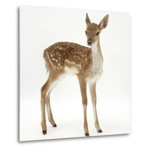 Fallow Deer (Dama Dama) Portrait of Fawn Standing by Mark Taylor