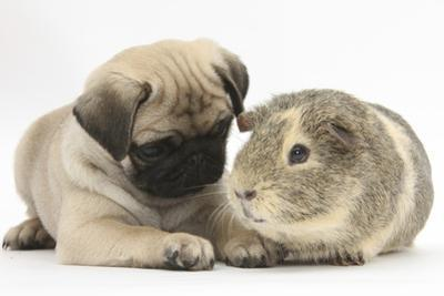 Fawn Pug Puppy, 8 Weeks, and Guinea Pig