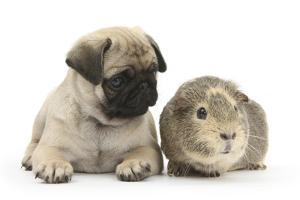 Fawn Pug Puppy, 8 Weeks, and Guinea Pig by Mark Taylor