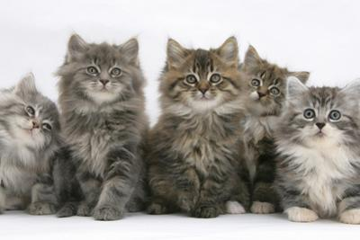 Five Maine Coon Kittens, 8 Weeks by Mark Taylor