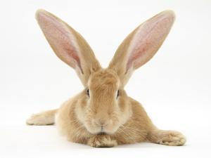 Flemish Giant Rabbit with Ears Erect by Mark Taylor