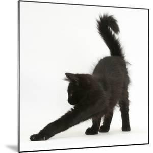 Fluffy Black Kitten, 12 Weeks Old, Stretching by Mark Taylor