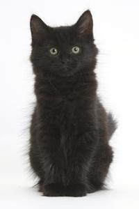 Fluffy Black Kitten, 9 Weeks Old, Sitting by Mark Taylor