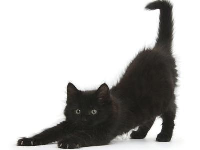 Fluffy Black Kitten, 9 Weeks, Stretching