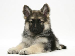 German Shepherd Dog (Alsatian) Bitch Puppy, Echo, Lying with Head Raised by Mark Taylor