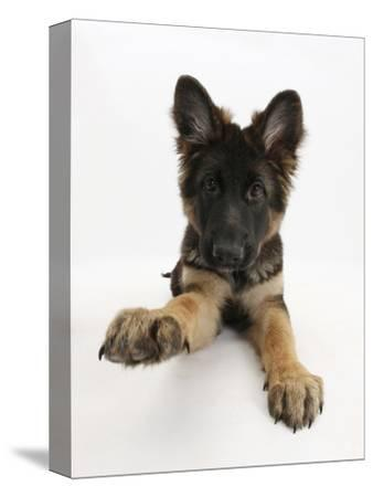 German Shepherd Dog Bitch Pup, Coco, 14 Weeks Old, with Raised Paw
